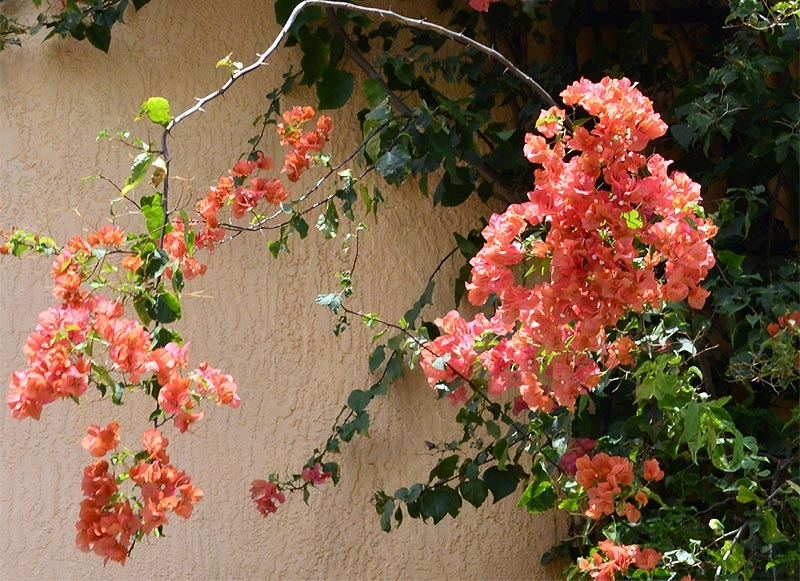 Bougainvillea-'After-Glow'