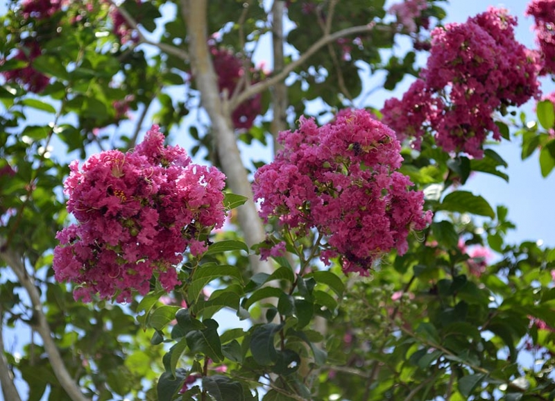 1 Lagerstroemia indica 'Pink Velour pp10319'
