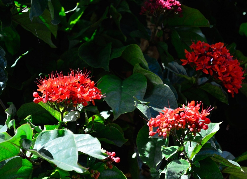 Clerodendrum splendens 1